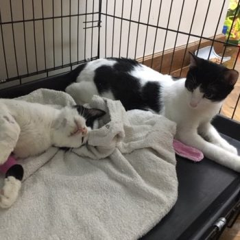 Two adorable tuxedo cats share a blanket and a crate.