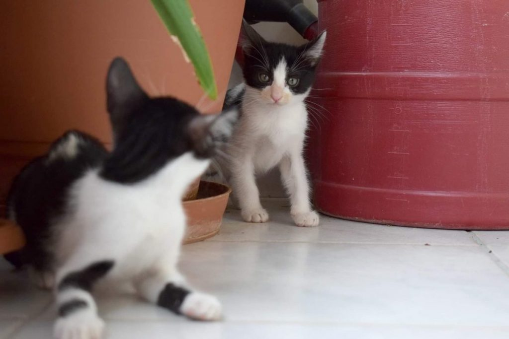 Two black and white kittens are playing hide and seek from between flower pots.