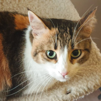 Closeup of a calico female cat for adoption with lovely green eyes.