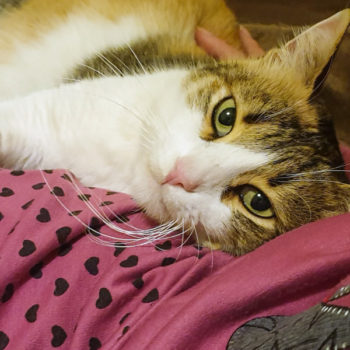 A female cat for adoption with beautiful green eyes gazes into the camera.