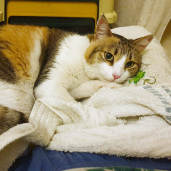 A pretty calico cat for adoption rests her head on pillow of thick fabric
