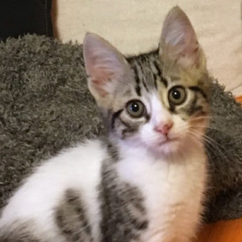 A young kitten for adoption gazes at us.