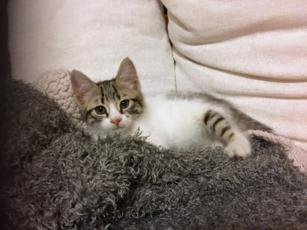 A sweet young kitten for adoption is seen surrounded by a fuzzy blanket and some pillows.