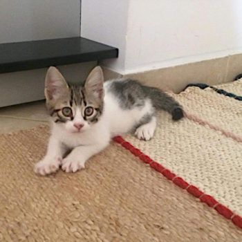 A young kitten for adoption looks at us with his huge eyes.