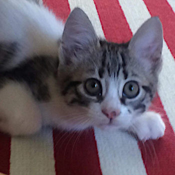 An adorable young kitten for adoption looking up at us from a red and white striped carpet