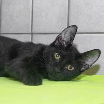 A black kitten lying on some pea green fabric