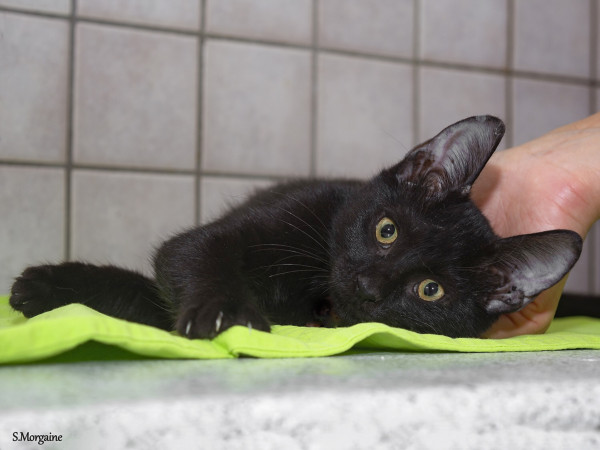 A black kitten lying on a pea green piece of fabric while a human pats her head