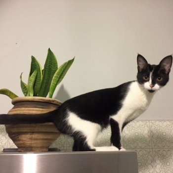 a black and white kitten standing on a table next to a potted plant