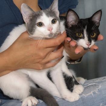Δυο γατάκια, ένα ασπρο με γκρι και το άλλο ασπρόμαυρο, κάθονται στην αγκαλιά ενός ανθρώπου.