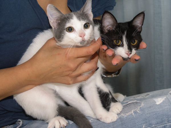 Two kittens, one grey and white, the other black & white held on a person's lap