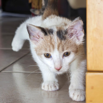 A little kitten crouching in preparation for pouncing on a toy.