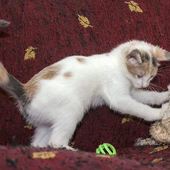 A little kitten on a red couch playing with a light green toy.