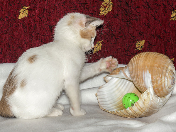 A little kitten playing with a large conch shell that has a green toy in it.