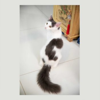 A longhair tailed kitten with white fur and grey spots is graciously looking back while posing on a white marble floor.