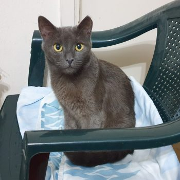 A dark grey cat with yellow eyes sitting on a green chair