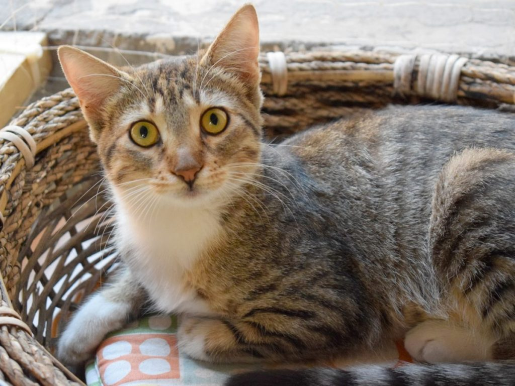 A gorgeous tabby kitten with green eyes is looking at us while lying in her comfy woven basket.