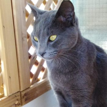 A blue cat with piercing green eyes is focusing on something outside the frame.