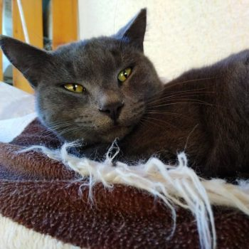 A very content grey cat with green eyes is liying on a bed on top of a brown and white blanket.