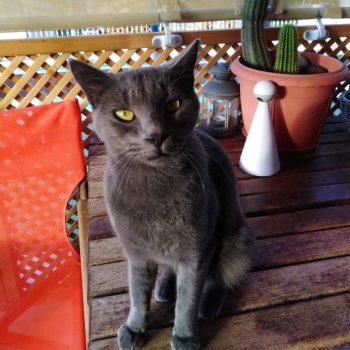 A lovely grey cat with green eyes is sitting on a wooden table next to an orange chair and a cactus plant.