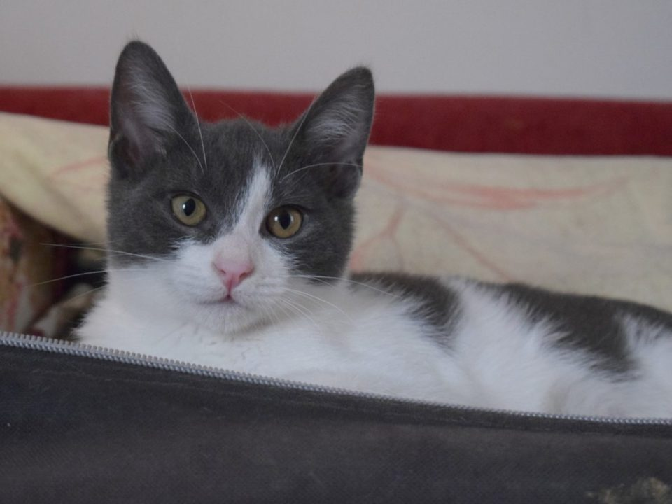 A sweet grey and white kitten is looking into the camera lying on a couch.