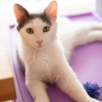 A white kitten lying on a purple box is looking straight into the camera while having a purple flower next to him.