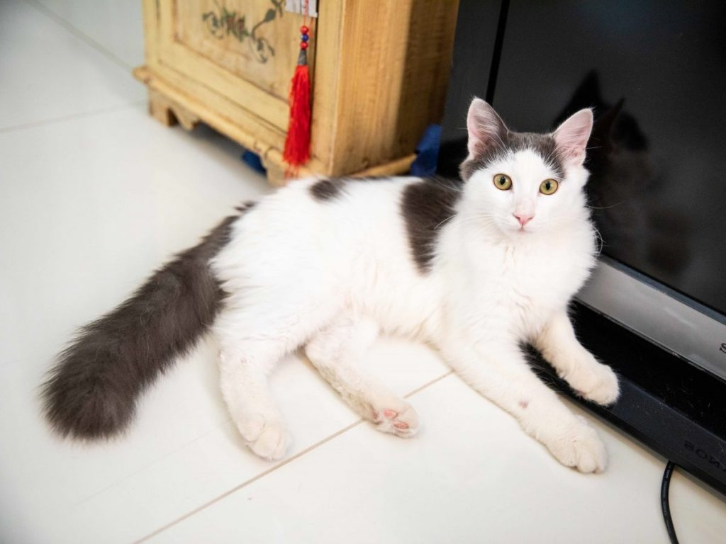 A fluffy white kitten with grey longhaired tail and green eyes is lying on the white floor in front of a black tv.