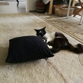 A fluffy tuxedo cat is playing on the floor with a black pillow.