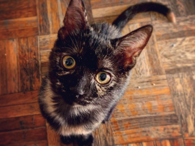 Close up of a tortoiseshell cat with yellow eyes looking intensely into the camera while standing on a wooden floor.