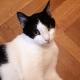 Ένας αξιολάτρευτος ασπρόμαυρος γάτος μας κοιτάζει ενώ ξαπλώνει στο ξύλινο πάτωμα.
