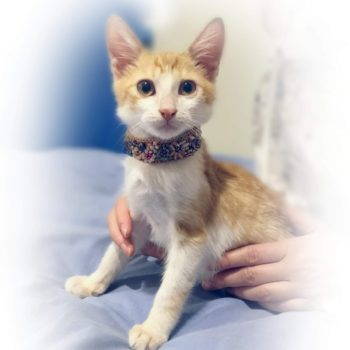 A sweet kitten is posing for the camera wearing a jeweled collar while being held by a human.