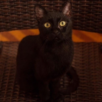 A black cat with piercing green eyes is looking straight into the camera while sitting on a wooven chair.