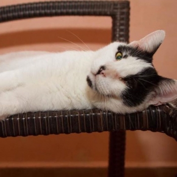 A one-eyed white with black spots cat is looking into the camera while lying comfortably on a chair.