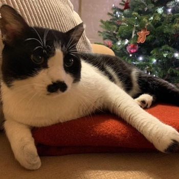 A black and white cat with a black mustache is sitting on a red blanket with the Christmas tree in the background.