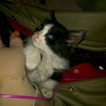 A tiny black and white kitten in someone's jacket pocket.