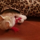 A ginger kitten is playing from inside a leopart cat tunnel with a red feather toy.