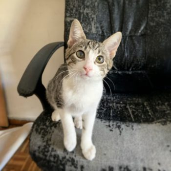A tabby kitten with one blurry eye is looking into the camera while standing on a worn out black desk chair.