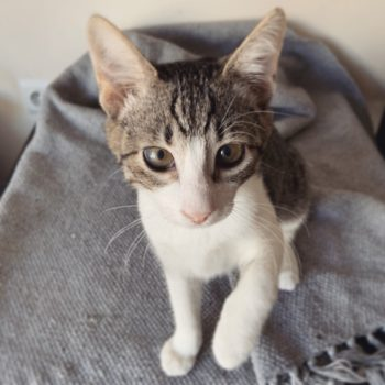 Close up of a tabby kitten with caramel eyes and pink nose standing on a grey fabric.