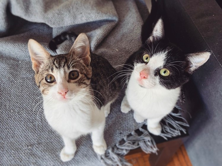 A tabby kitten and a tuxedo one are looking up while standing on a table covered with a grey fabric.
