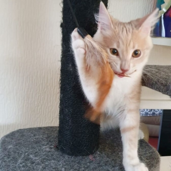 A smart looking apricot kitten playing on her cat tree.