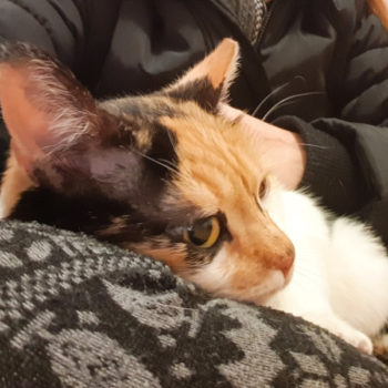 A calico cat for adoption, sitting on someone's lap and using the person's knee as a pillow