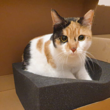 A calico cat for adoption sitting on some foam packing material