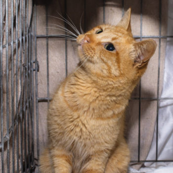 An orange male cat in a cage, looking up at something outside the cage.