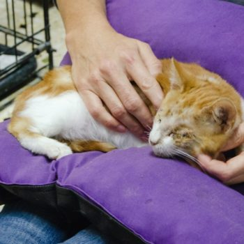 A ginger and white kitten with stitches on his eyes is sleeping on a purple pillow sitting on someone's lap.