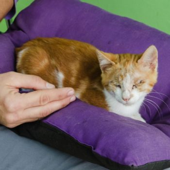 A ginger kitten with stitches on his eyes from a recent operation is lying on a purple pillow on someone's lap.