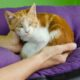 A sweet bling ginger kitten is rolled up in someone's hands while sitting on a purple pillow.