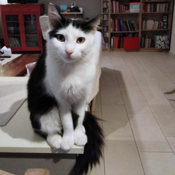 A gorgeous stray cat with black and white fur sits on a table in her foster home.