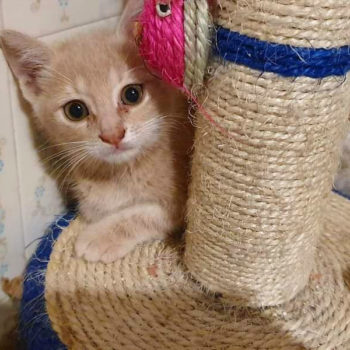 A lovely kitten, pale peach in color, sitting behind a cat scratching post