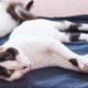 Ένας πανέμορφος μονόφθαλμος ασπρόμαυρος γάτος κάνει πατουσάκια ξαπλωμένος σε μια μπλε κουβέρτα.