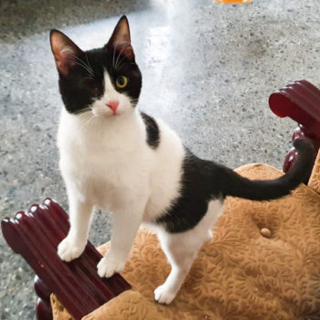 One of two male stray kittens, each with just one eye, stands on a chair with his paws on the arm looking at something intently