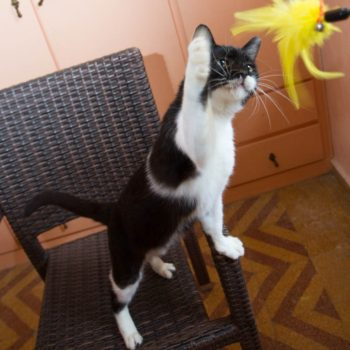 A black and white cat is standing on a chair, trying to reach with his front paw a yello feather toy.